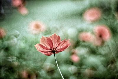 flores de picão 3
