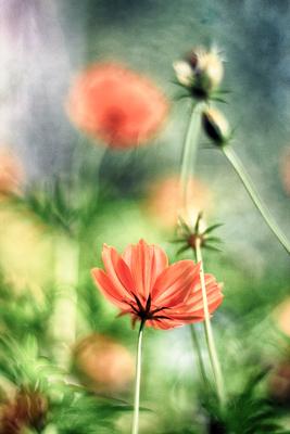 flores de picão 5