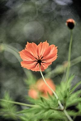 flores de picão 7