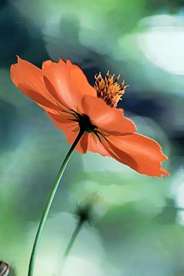 Flores de picão 12