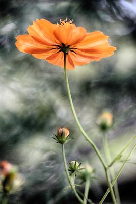 Flores de picão 13