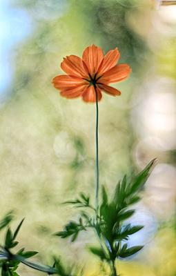 Flores de picão 17