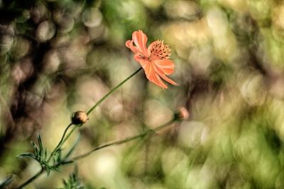 Flores de picão 19