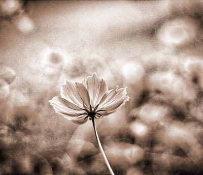 flor em sépia