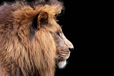 Leão de perfil com fundo preto
