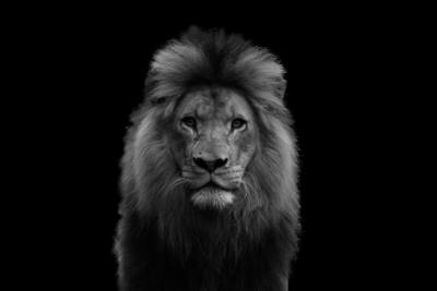 Leão ampliado