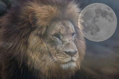 Leão o rei da selva