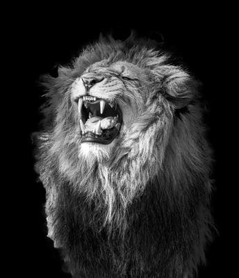 Leão rugindo em preto e branco