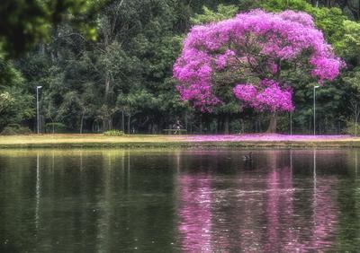 Série Flora - Ipê Rosa e Reflexo
