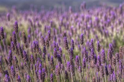 Série Flora - Campos de Lavanda