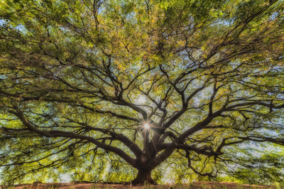 Série Flora - Copaíba e o Sol