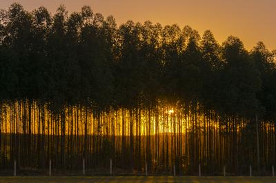 Série Flora - Pôr do Sol nos Eucaliptos