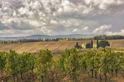 Série Toscana - Plantação de Uva