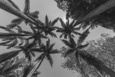 série Flora - Coqueiros em PB