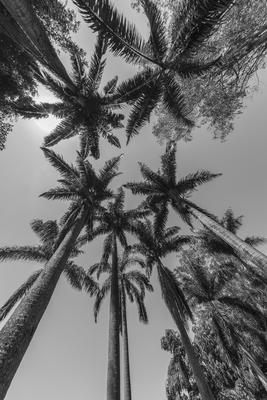 Série Flora - Coqueiros em PB 2