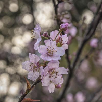 Série Flora - Ramo de cerejeira em flor I