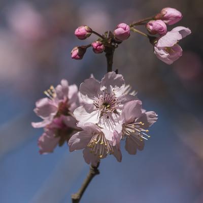 Série Flora - Ramo de cerejeira em flor II