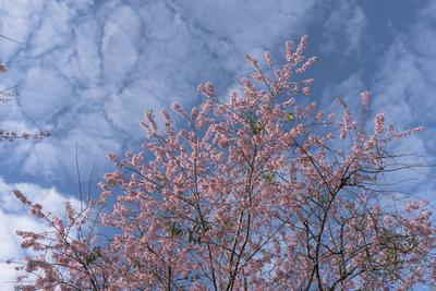 Série Flora - Cerejeiras em flor I