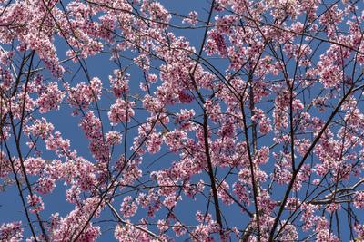 Série Flora - Cerejeiras em flor II