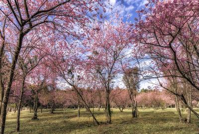 Série Flora - Bosque de cerejeiras em flor II