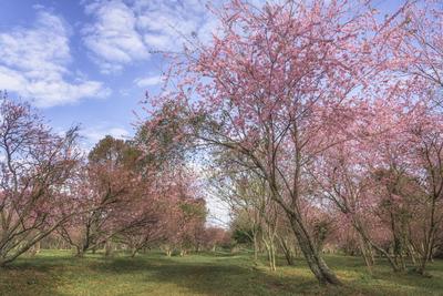 Série Flora - Bosque de cerejeiras em flor III