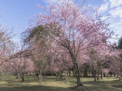 Série Flora - Bosque de cerejeiras em flor I