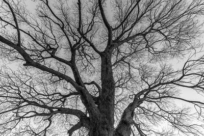 Série Flora - Árvore no Inverno em PB I