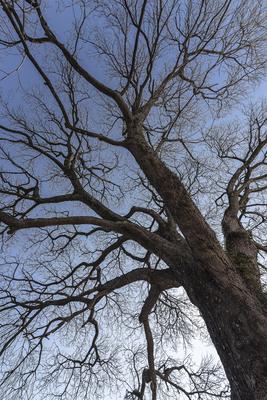 Série Flora - Árvore no Inverno II