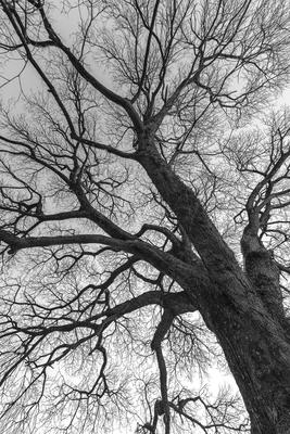 Série Flora - Árvore no Inverno em PB II