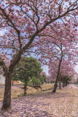 Série Flora – Caminho de Ipês na Primavera I