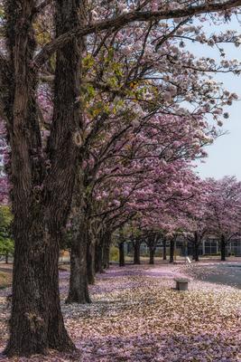 Série Flora – Caminho de Ipês na Primavera II