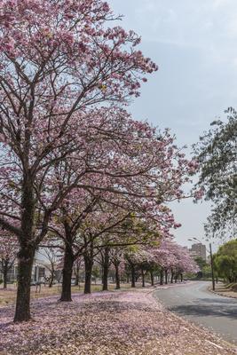 Série Flora – Caminho de Ipês na Primavera III