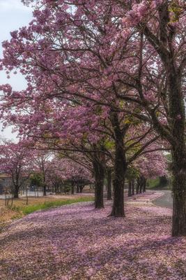Série Flora – Caminho de Ipês na Primavera IV