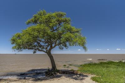 Série Flora - Árvore solitária dando sombra na beira do Rio