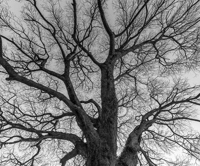 Série Flora - Árvore no Inverno em PB I Tam 2