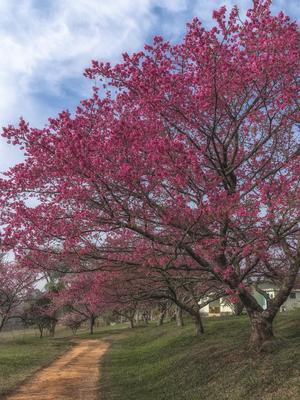 Série Flora - Cerejeira em flor