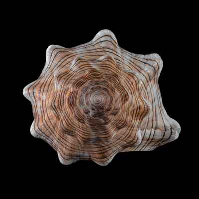 Série Espirais Marinhas - Pleuroploca Trapezium