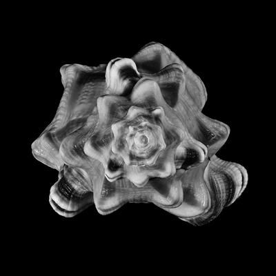 Série Espirais Marinhas - Cymatium Perryl-PB