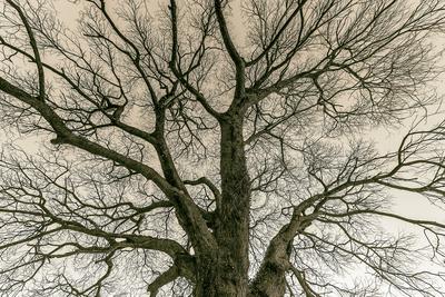 Série Flora - Árvore no Inverno em Sépia