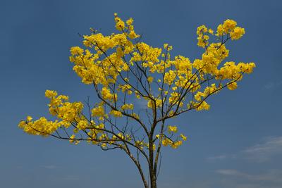 Série Flora - Ipê Amarelo