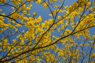 Série Flora - Galhos de Ipê amarelo