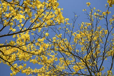 Série Flora - Galhos de Ipês Amarelos Floridos II