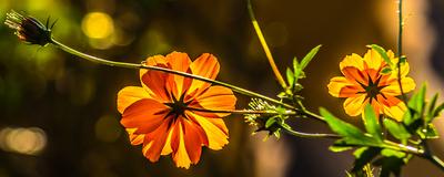 flores amarelas_em