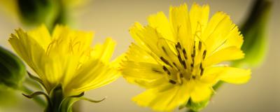 flores amarelas_2