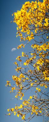 ipê amarelo e lua