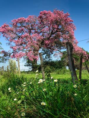 paineira rosa