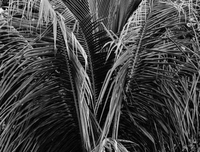 palmeira alada