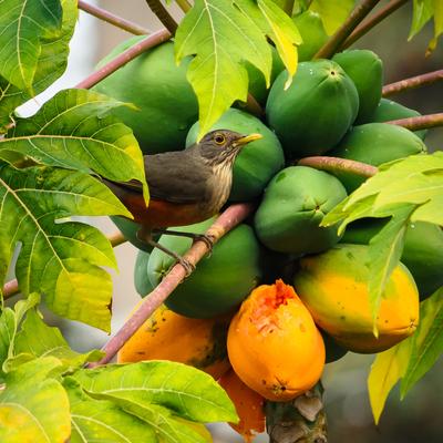 sabiá laranjeira