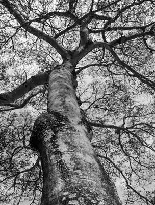 velha árvore