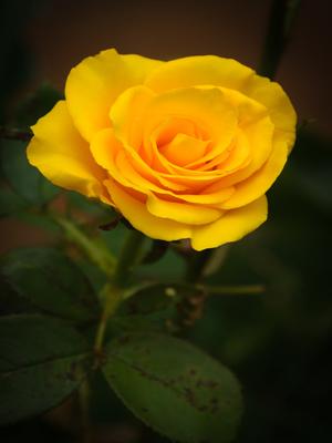 rosa amarela_2
